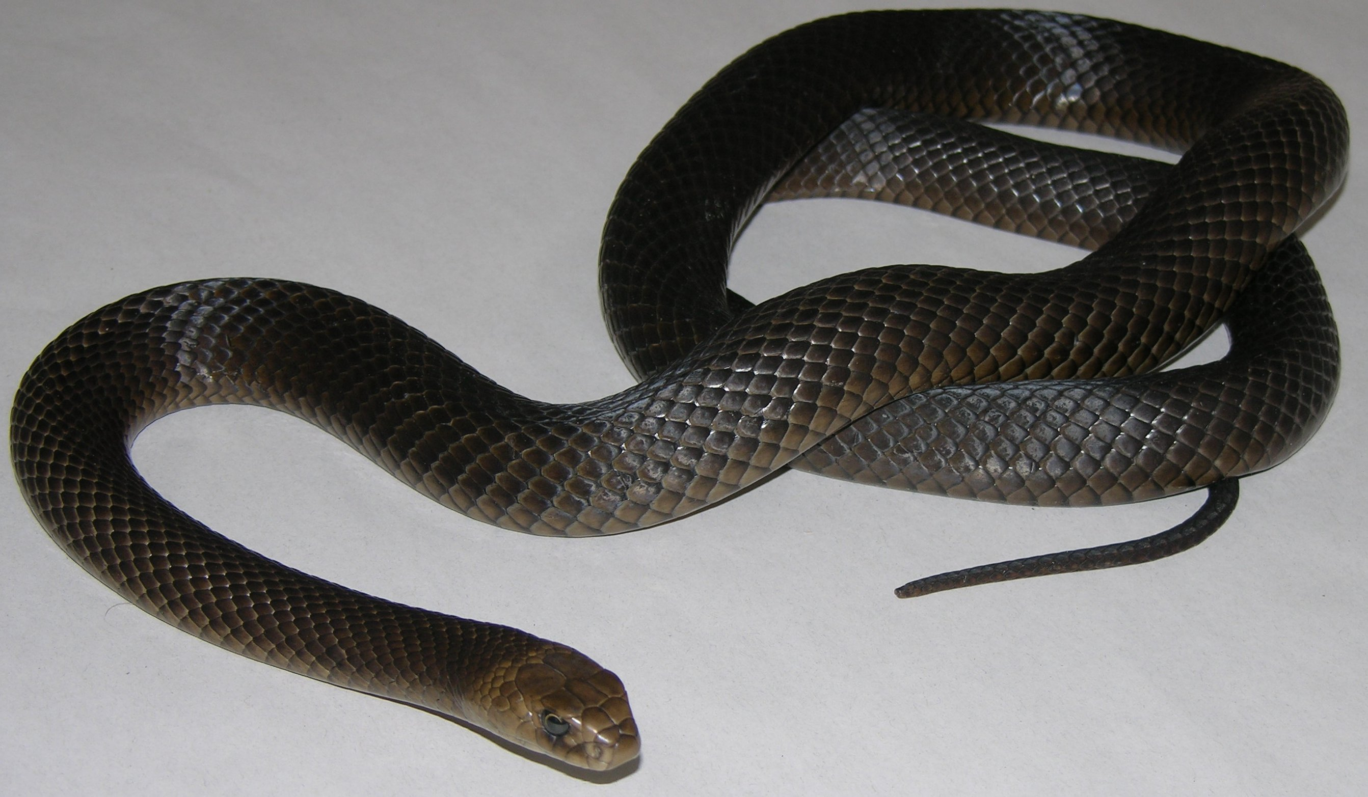 the black snake The black milk snake (lampropeltis triangulum gaigeae) is gaining in popularity among the colubrid crowd and converting more than a few non-colubrid fans it.
