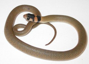 Common brown snake juvenile