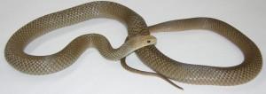 Common brown snake (lighter color)