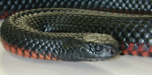 Red Bellied Black Snake