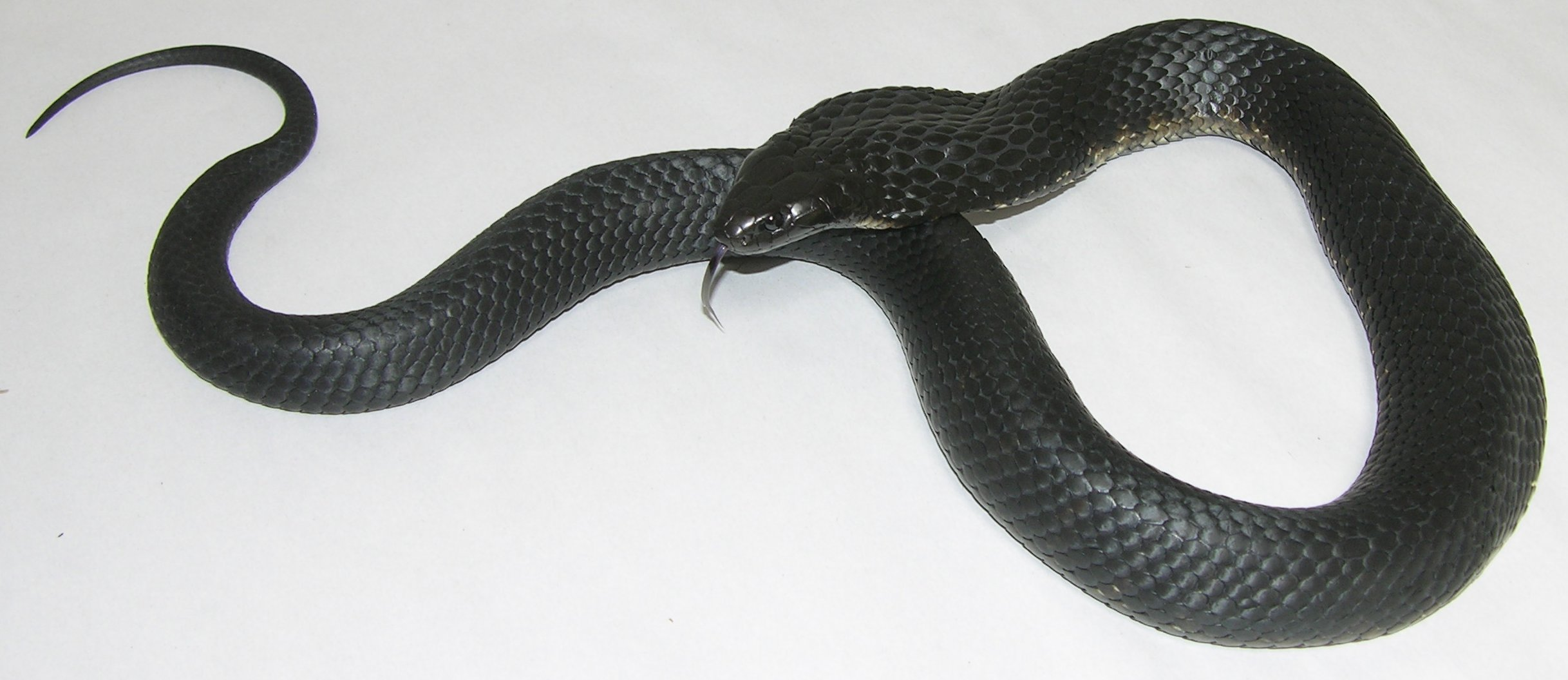 Dangerous Snakes Of The Lakes Area And Fleurieu Peninsula The