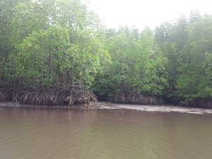 Mangroves in Ko Kong, an internationally recognised Ramsar Site